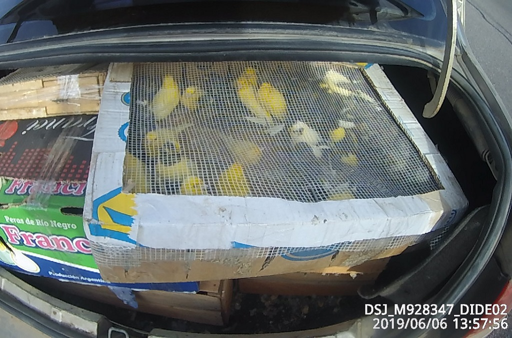 315 Jilgueros Dorados (sicalis flaveola) Saffron Finches smuggled from Argentina to Uruguay intercepted by Uruguay customs at roadblocks set up as part of Operation Thunderball.