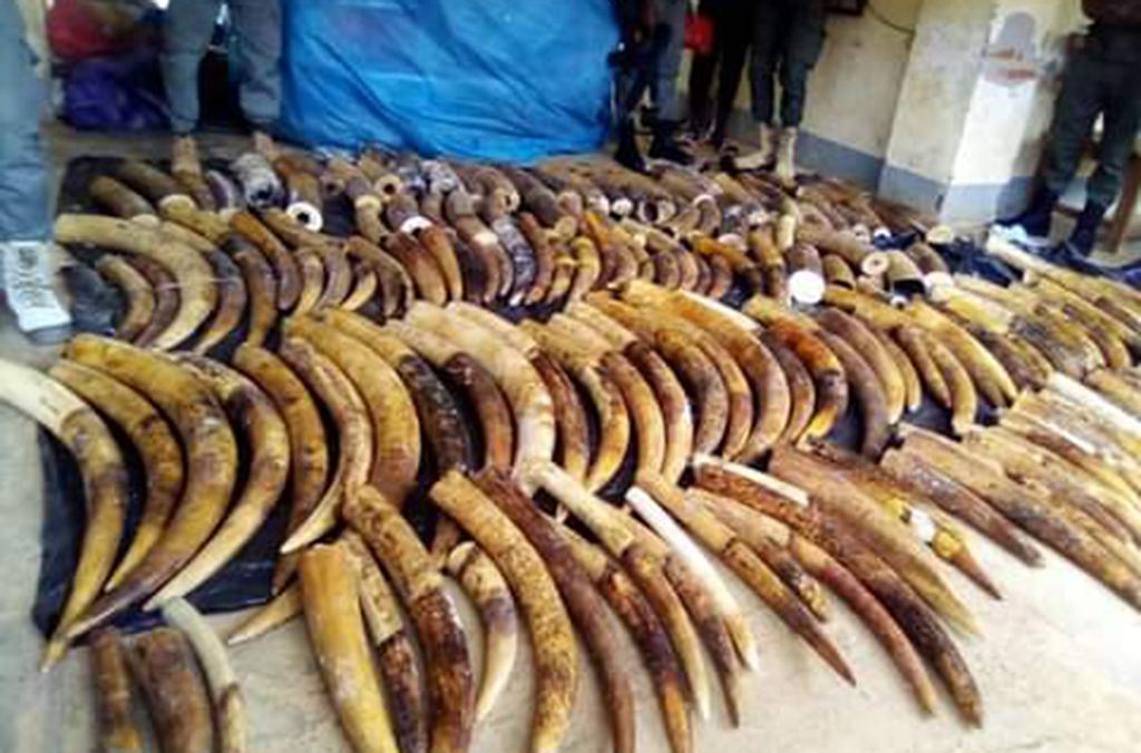 Over 1.3 tonnes of ivory were seized during the operation. Courtesy of Cameroon Customs