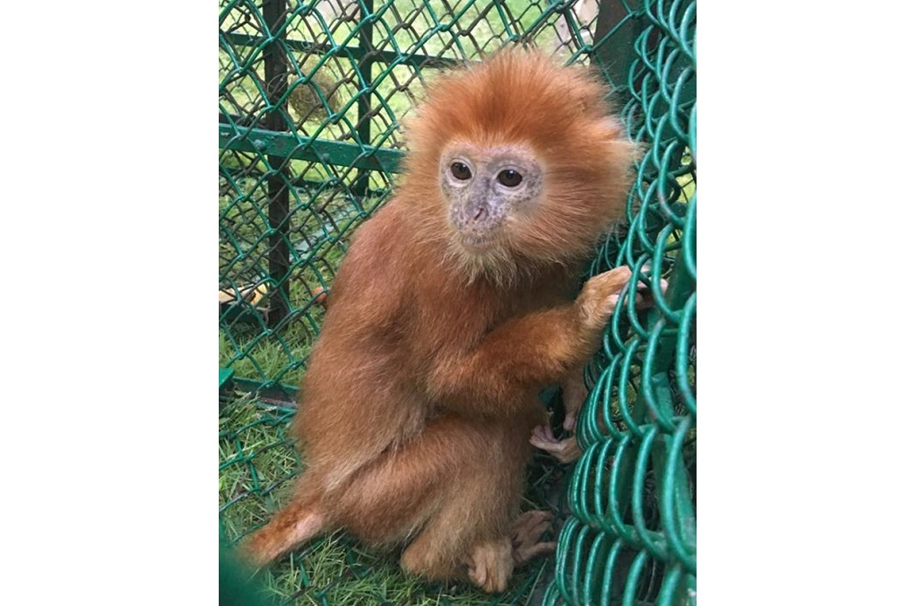 The global wildlife operation saw the seizure worldwide of 23 live primates, including this infant Langur (Trachypithecus Poliocephalus) being smuggled from Bangladesh and intercepted during a road inspection by India Wildlife Crime Control Bureau and Bengal Forest Department
