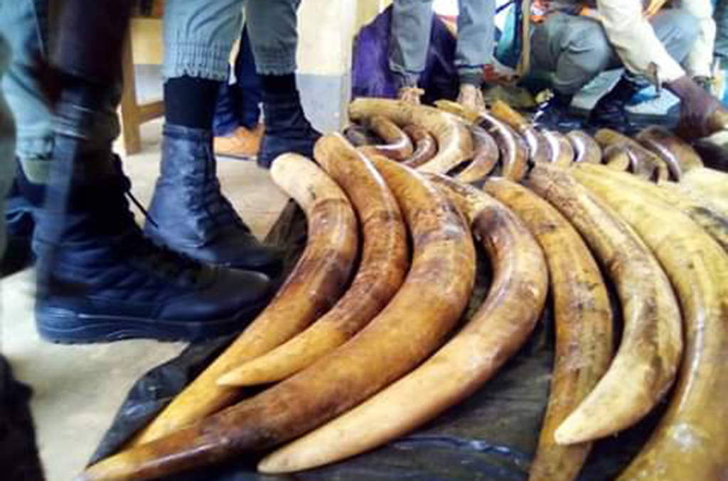 In Cameroon, customs officers seized 187 raw elephant tusks from a truck crossing the border from Gabon. Courtesy of Cameroon Customs