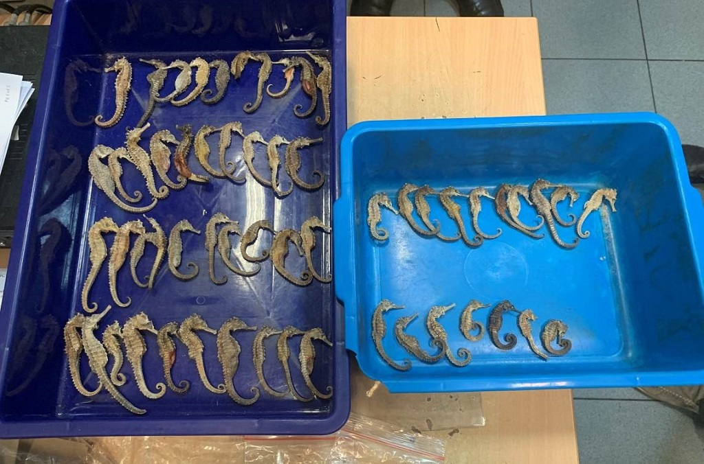 Dried Seahorses (hippocampus spp.) being smuggled from Indonesia to Vietnam were detected  by airport customs during X-ray luggage inspection and seized by Singapore's Immigration and Checkpoints Authority