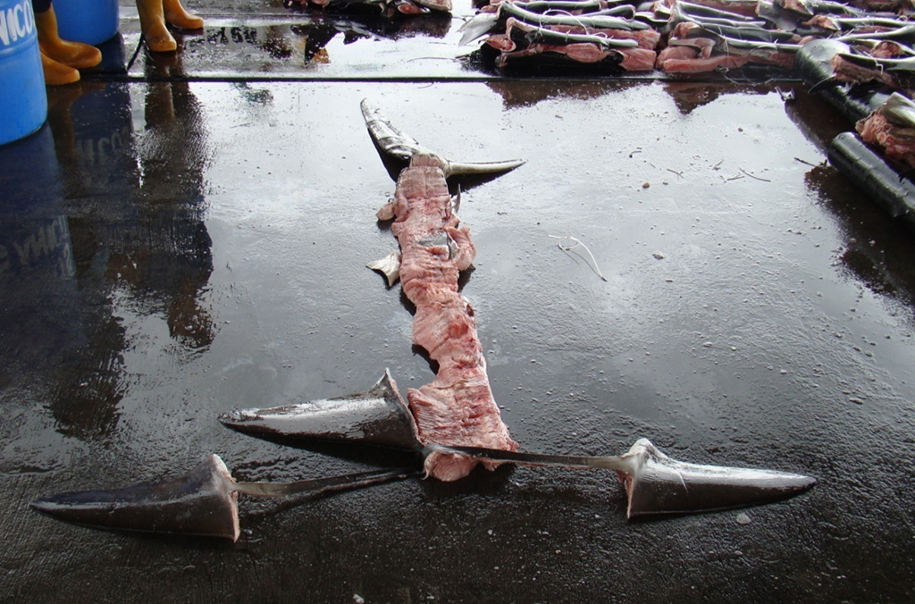 INTERPOL's intelligence-led operations target specific cargoes of suspected protected species, such as the hammerhead shark which is highly valued on illegal markets for its fins