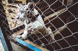 Road inspections by Mexico's Fiscalia General de la Republica intercept this white tiger cub concealed in a pick-up van