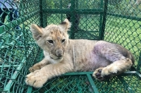 A lion cub (Panthera Leo) was detected in India by the Wildlife Crime Control Bureau and West Bengal Forest Department on its way to the United Kingdom from Bangladesh